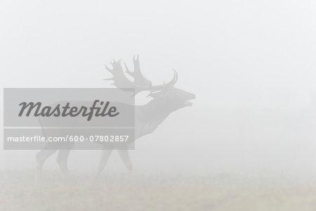 Bellowing Male Fallow Deer (Cervus dama) in Morning Mist during Rutting Season, Hesse, Germany