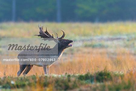 Bellowing Male Fallow Deer (Cervus dama) during Rutting Season, Hesse, Germany