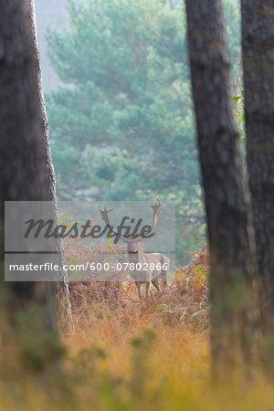 Male Fallow Deer (Cervus dama) in Forest in Autumn, Hesse, Germany