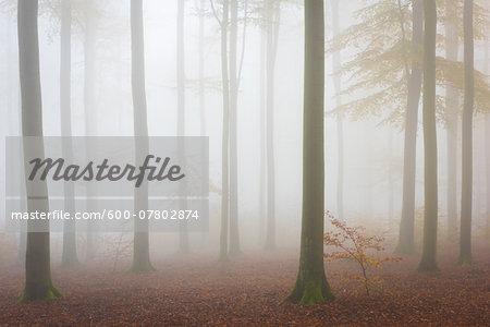 European Beech (Fagus sylvatica) Forest in Mist, Spessart, Bavaria, Germany