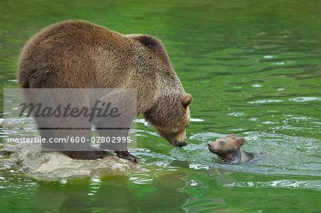 Brown Bear (Ursus arctos) with Cub, Bavarian Forest National Park, Bavaria, Germany