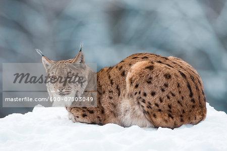 Portrait of European Lynx (Lynx lynx) in winter, Bavarian Forest National Park, Bavaria, Germany