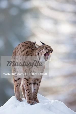 European Lynx (Lynx lynx) yawning in winter, Bavarian Forest National Park, Bavaria, Germany