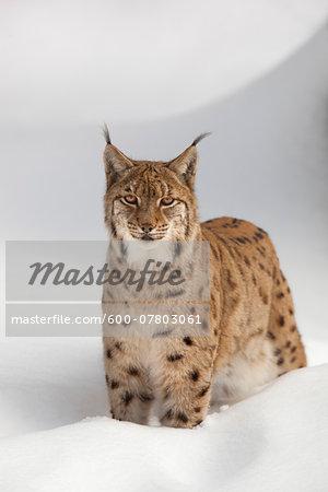 Portrait of European Lynx (Lynx lynx) in winter, Bavarian Forest National Park, Bavarai, Germany