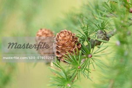 Close-up of European larch (Larix decidua) cones in autumn, Upper Palatinate, Bavaria, Germany