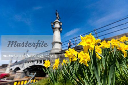 Daffodils, bridge in background, Djurgardsbron