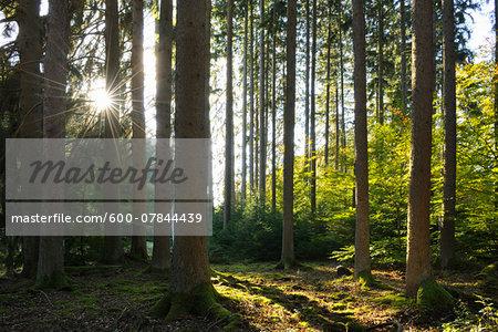Coniferous Forest with Sun in Autumn, Eppenbrunn, Pfaelzerwald, Rhineland-Palatinate, Germany