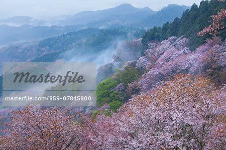 Cherry blossoms