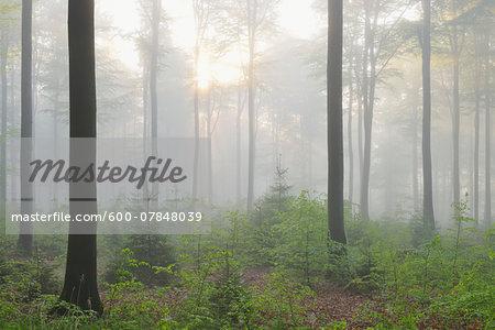 Beech Forest in Morning Mist, Spring, Spessart, Bavaria, Germany, Europe