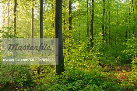 Beech Forest in Spring, Spessart, Bavaria, Germany, Europe