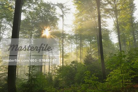 Sunbeams in Beech Forest, Spessart, Bavaria, Germany, Europe