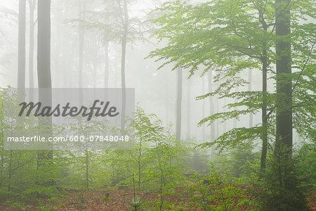 Beech Forest in Morning Mist, Fagus sylvatica, Spring, Spessart, Bavaria, Germany, Europe