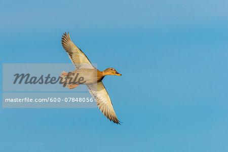 Mallard (Anas platyrhynchos) Female, flying against blue sky, Hesse, Germany, Europe
