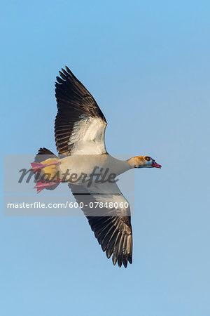 Egyptian goose (Alopochen aegyptiacus), flying against blue sky, Hesse, Germany, Europe