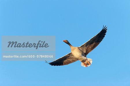 Greylag goose (Anser anser), flying against blue sky, Hesse, Germany, Europe