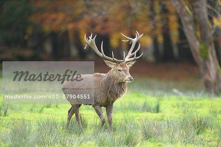 Close-up of Male Red Deer (Cervus elaphus) in Autumn, Bavarian Forest National Park, Bavaria, Germany