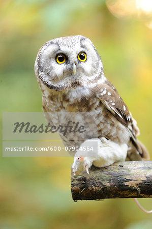 Close-up of Boreal Owl (Aegolius funereus) with Prey in Autumn, Bavarian Forest National Park, Bavaria, Germany