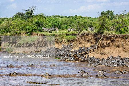 Kenya, Narok County, Masai Mara National Reserve. Zebras swim across the Mara River as Nile crocodiles lie in wait to grab the weakest.