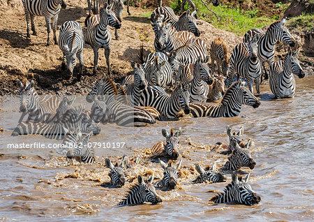 Kenya, Narok County, Masai Mara National Reserve.  Zebras swim across the Mara River.