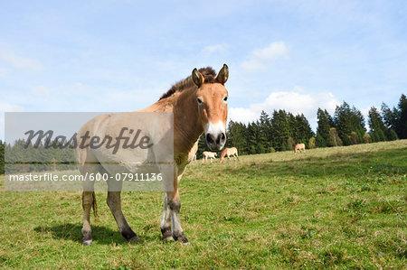 Portrait of Przewalski's Horse (Equus ferus przewalskii) on Meadow in Autumn, Bavarian Forest National Park, Bavaria, Germany
