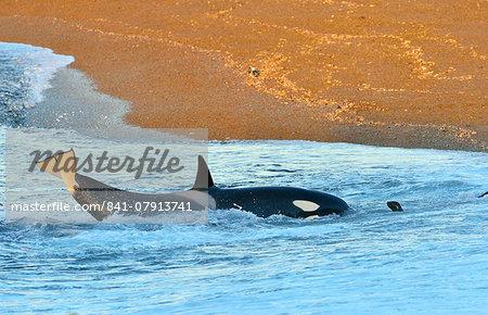Orca (killer whale) (Orcinus orca), South American sea lion (Otaria flavescens), Peninsula Valdes, Patagonia, Argentina, South America