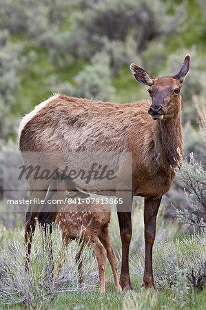 Elk (Cervus canadensis) calf nursing, Yellowstone National Park, Wyoming, United States of America, North America