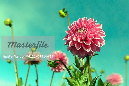 Close-up several flowering dahlia flowers