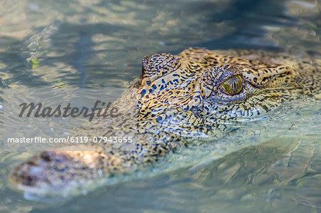 Wild saltwater crocodile (Crocodylus porosus) head detail in porous creek on the Hunter River, Mitchell River National Park, Kimberley, Western Australia, Australia, Pacific