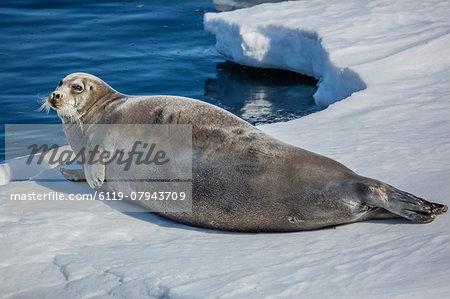 Adult bearded seal (Erignathus barbatus) hauled out on ice in Storfjorden, Svalbard, Arctic, Norway, Scandinavia, Europe