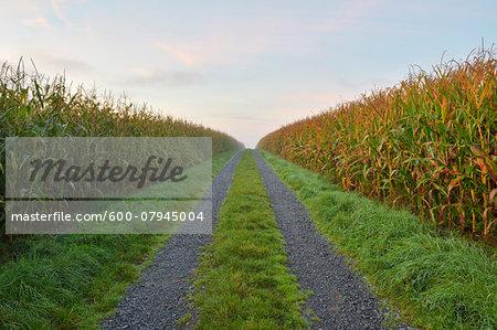 Gravel Road through Cornfield, Vielbrunn, Odenwald, Hesse, Germany