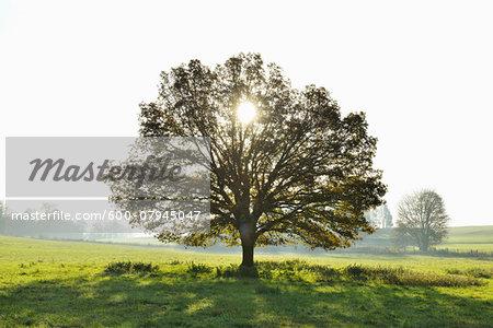 Oak Tree with Sun, Vogelsbergkreis, Hesse, Germany