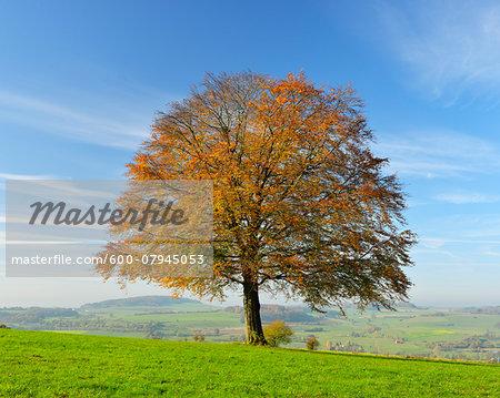 Oak Tree in Autumn, Vogelsbergkreis, Hesse, Germany