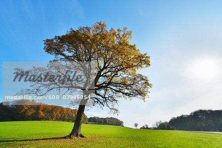 Oak Tree in Autumn with Sun, Vogelsbergkreis, Hesse, Germany