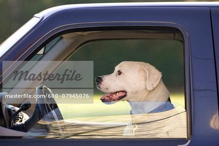 Close-up portrait of dog inside truck, USA