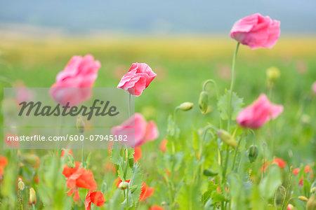 Close-up of Opium Poppies (Papaver somniferum) and Corn Poppies (Papaver rhoea) Summer, Germerode, Hoher Meissner, Werra Meissner District, Hesse, Germany