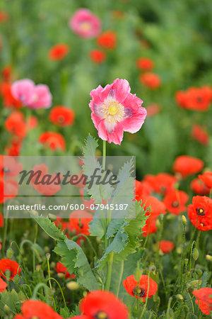 Close-up of Opium Poppy (Papaver somniferum) in field with Corn Poppies (Papaver rhoeas) Summer, Germerode, Hoher Meissner, Werra Meissner District, Hesse, Germany
