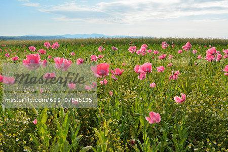 Opium Poppy Field (Papaver somniferum) and Chamomile (Matricaria chamomilla) Summer, Germerode, Hoher Meissner, Werra Meissner District, Hesse, Germany