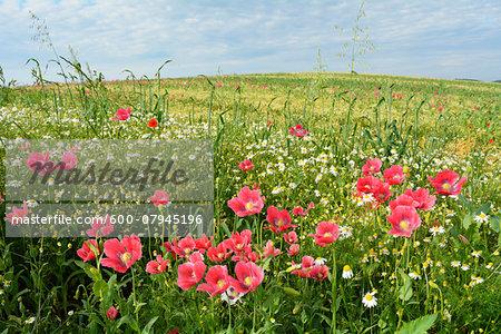 Opium Poppies (Papaver somniferum) and Chamomile (Matricaria chamomilla) in field, Summer, Germerode, Hoher Meissner, Werra Meissner District, Hesse, Germany
