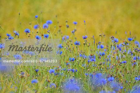Cornflowers (Centaurea cyanus) in field, Summer, Germerode, Hoher Meissner, Werra Meissner District, Hesse, Germany