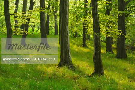 Forest in the Spring, Vogelsberg District, Hesse, Germany