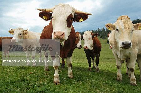 Alpine oxen on Teichalm