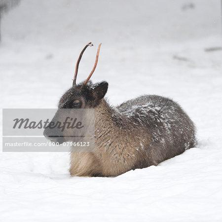 Portrait of Reindeer (Rangifer tarandus) in Winter, Germany