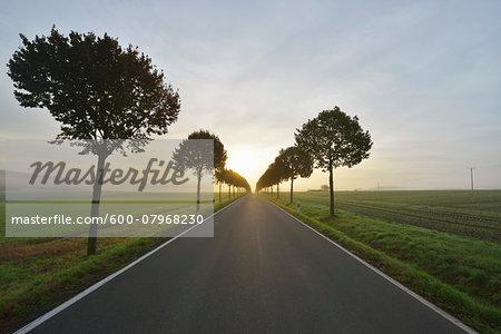 Country Road with Tree Allee in Morning, Himmighofen, Rhein-Lahn-Kreis, Rhineland-Palatinate, Germany