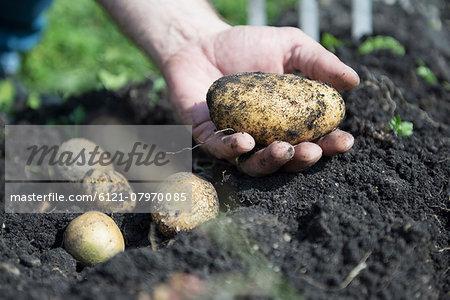 Fresh potatoes ground earth hand close-up