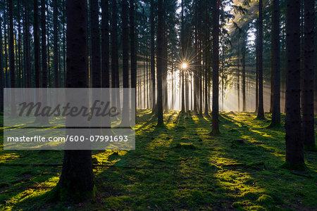 Spruce Forest at Sunrise, Odenwald, Hesse, Germany