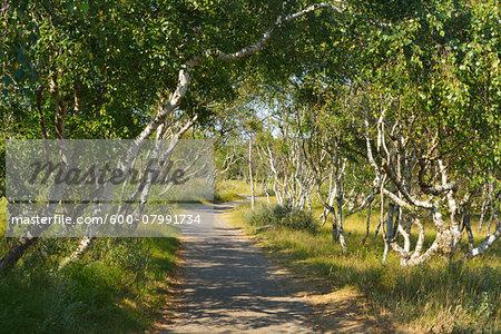 Path through Birch Forest, Summer, Norderney, East Frisia Island, North Sea, Lower Saxony, Germany