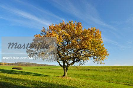 Oak Tree in field in Autumn, Vogelsberg District, Hesse, Germany