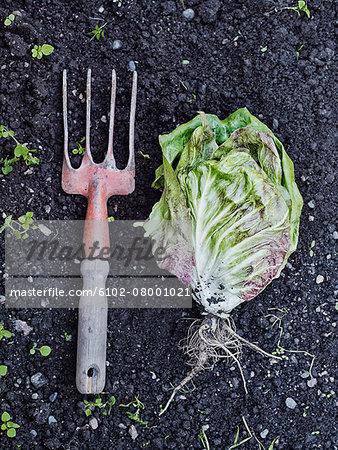 Garden fork and lettuce