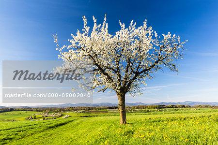 Lone cherry tree in bloom on pasture land, spring, Canton of Aargau, Switzerland