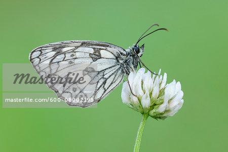 Marbled White (Melanargia galathea) Butterfly on Clover Flower, Bavaria, Germany